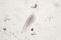 淡水浮游动物大概原虫的有睫毛Ciliophora 免版税库存照片