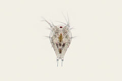 淡水浮游动物挠足虫Nauplius幼虫 微观甲壳动物 库存照片