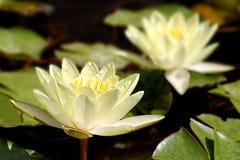 淡黄的莲花waterliky在喷泉 库存照片