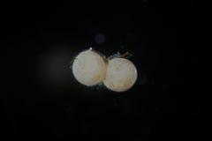淡水腹足动物的蜗牛鸡蛋由显微镜的 不需要或有用的水族馆居民 库存图片