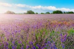 淡紫色丛生在日落的特写镜头 在淡紫色紫色花的日落微光  在图片和太阳的中心的灌木 库存图片