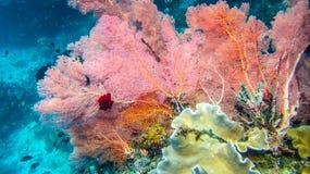 淡紫色五颜六色的软的珊瑚礁和潜水者王侯的Ampat,印度尼西亚 免版税库存图片
