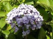 淡紫色八仙花属 免版税图库摄影