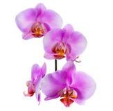 淡紫色兰花开花的美好的分支在白色被隔绝 免版税图库摄影