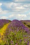 淡紫色农场,北部萨里小山,英国 7月19日 免版税库存照片