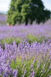 淡紫色农场 免版税库存图片