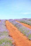 淡紫色农场 图库摄影