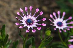 淡紫色匙子(Osteospermum)花,非洲雏菊,反对自然本底 免版税库存图片