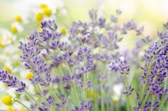 淡紫色和春黄菊 库存图片