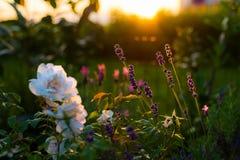 淡紫色和玫瑰色花,在背后照明的家庭菜园 库存照片