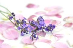 淡紫色和瓣 库存照片