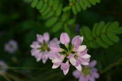 淡紫色和白花和绿色叶子 库存图片