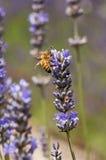淡紫色和蜂 免版税库存图片