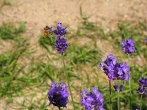 淡紫色和蜂 免版税库存照片