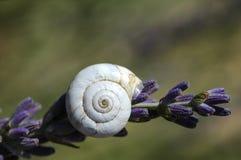淡紫色和蜗牛 库存照片