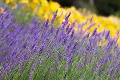 淡紫色和黄色花 库存图片