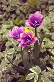 淡紫色和黄色郁金香在春天从事园艺 免版税库存照片
