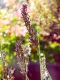 淡紫色在小阳春 免版税库存照片