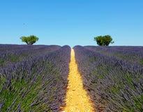 淡紫色在普罗旺斯,法国在背景中调遣,有橄榄树的 图库摄影