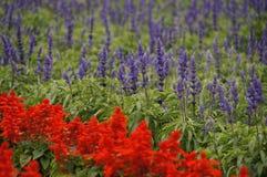 淡紫色在花农场 免版税库存图片