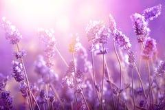 淡紫色在阳光下 免版税库存图片