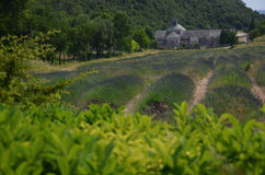 淡紫色在Senaque修道院,普罗旺斯前面的领域的行 库存图片