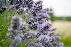 淡紫色在Sequim 6 免版税库存图片
