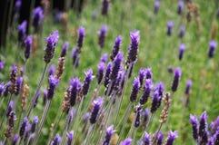 淡紫色在Stellenbosh,开普敦,南非开花 库存图片