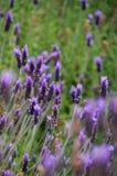 淡紫色在Stellenbosh,开普敦,南非开花 库存照片
