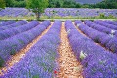 淡紫色在Valensole附近调遣在普罗旺斯,法国 免版税图库摄影
