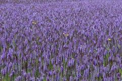 淡紫色巨型海索草藿香foeniculum 免版税图库摄影