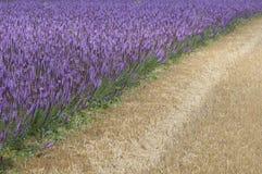 淡紫色巨型海索草藿香foeniculum 免版税库存图片