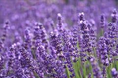 淡紫色庭院 免版税库存照片
