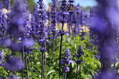 淡紫色开花大块 库存图片