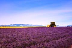 淡紫色开花开花的领域、房子和树 法国普罗旺斯 免版税库存照片