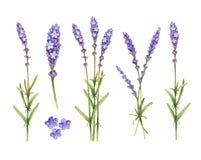 淡紫色开花汇集 向量例证
