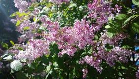 淡紫色开花的灌木 免版税库存图片