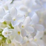 淡紫色开花的花 免版税库存图片
