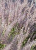 淡紫色开花的草 库存照片