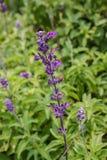 淡紫色开花 库存图片