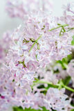 淡紫色春天言情秀丽花 图库摄影