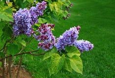 淡紫色树开花 免版税库存图片