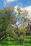 淡紫色树 采取在淡紫色庭院里在莫斯科 免版税图库摄影