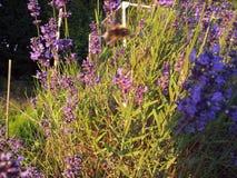 淡紫色植物在庭院里 免版税库存图片