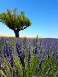 淡紫色植物的特写镜头有一棵橄榄树的和一块麦田在背景中 免版税库存图片
