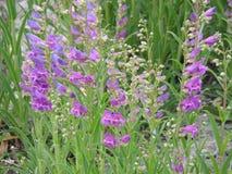淡紫色毛地黄属植物 免版税图库摄影