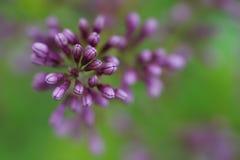 淡紫色灌木特写镜头 免版税库存照片