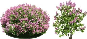 淡紫色灌木 库存照片