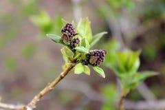 淡紫色灌木 图库摄影