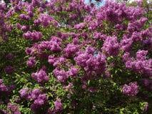 淡紫色灌木 库存图片